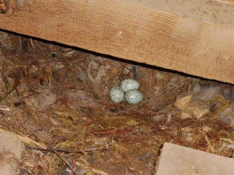 vogel eitjes - Fauna in de kerk